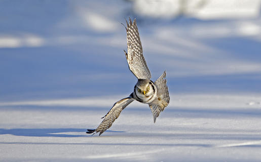 Hawk owl hunting  by Jenny Hibbert, Birds in Flight Category