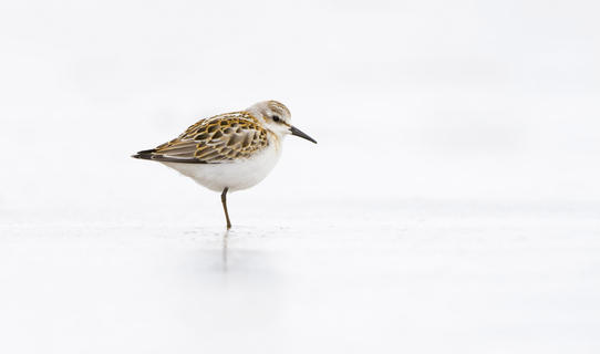 Little stint by Carl Day, Best Portrait Category