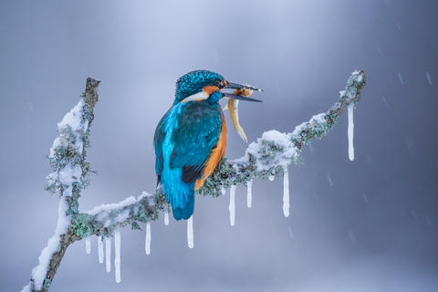 Kingfisher in ice age by Petar Sabol, Best Portrait Category