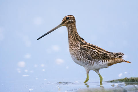 Common snipe by Gabriel Ozon, Best Digiscoped Image Category