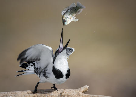 Pied king fisher by Malek Ali Alhazzaa, Bird Behaviour  Category