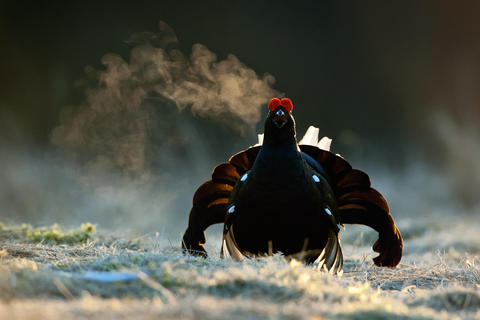 Black grouse by Uryadnikov Sergey, Best Portrait Category