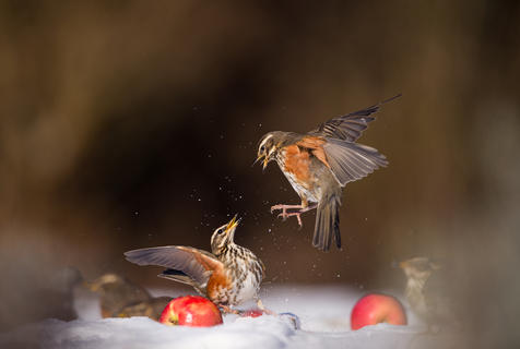 Redwings fighting behavio by Andy Parkinson, Garden Birds  Category