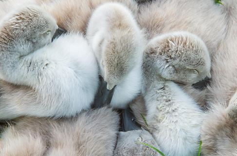Muteswan cygnets ap23 by Andy Parkinson, Attention to Detail  Category