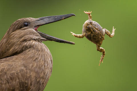 A too big bite by Bence Mate, Bird Behaviour  Category