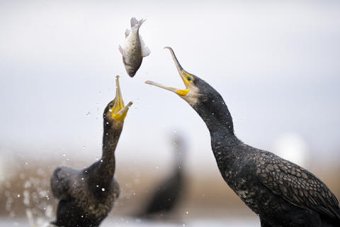 Contest by Bence Mate, Bird Behaviour  Category