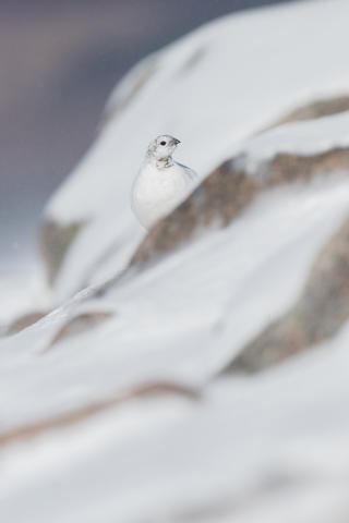 Ptarmiganinsnow by Peter Walkden, Birds in the Environment  Category