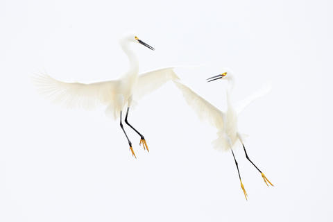 Snowy egrets by Tim Hunt, Birds in Flight Category