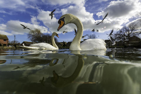 Swanning around by Simon Anderson, Birds in the Environment  Category