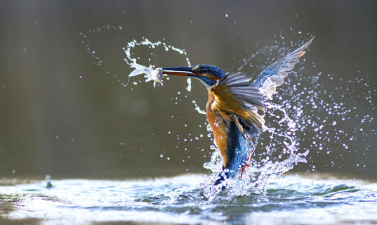 Whee! i'm catched it by Geza Attila Szabo, Bird Behaviour  Category