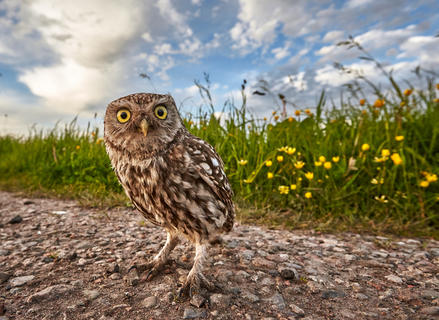 A little owl by Austin Thomas, Best Portrait Category