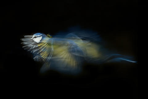 Blue tit by Liam Marsh, Creative Imagery Category