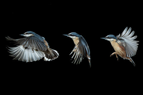 Nuthatch in flight by Liam Marsh, Creative Imagery Category