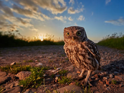 A little owl at sunset by Austin Thomas, Birds in the Environment  Category