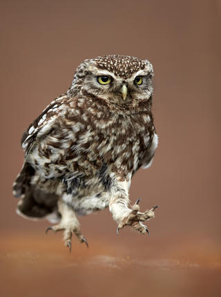 Little owl running by Austin Thomas, Bird Behaviour  Category