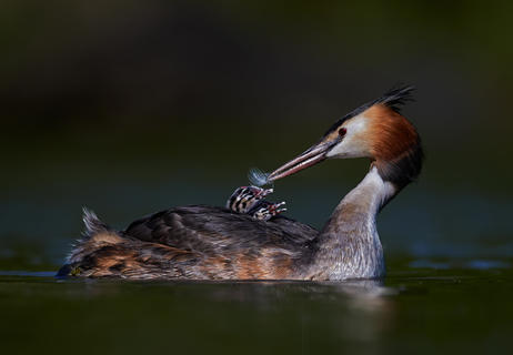 Great-crested grebes by Austin Thomas, Bird Behaviour  Category