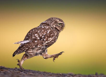 Adult little owl running by Austin Thomas, Bird Behaviour  Category