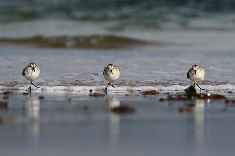 Sanderlings in the surf by Kate Sweeney, Birds in the Environment  Category