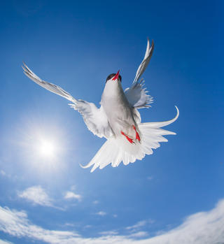 Tern of flight by David Gibbon, Birds in Flight Category
