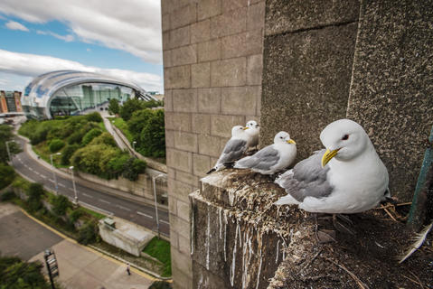 Tyne bridge kittiwakes by Sam Hobson, Birds in the Environment  Category