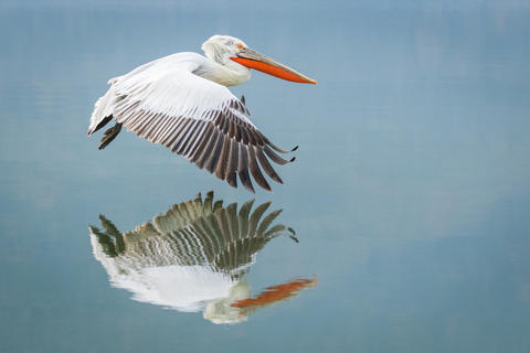 Mirror image by Drew Buckley, Birds in Flight Category