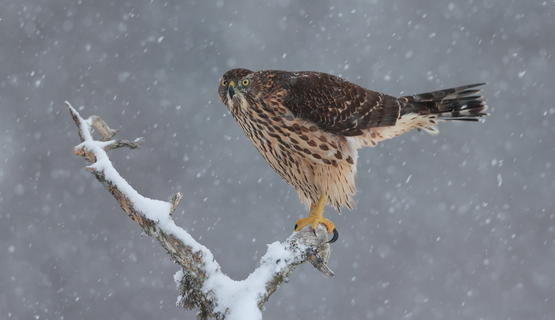 Goshawk  by Charles Tyler, Best Portrait Category