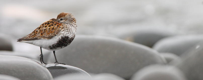 Dunlin by Charles Tyler, Best Portrait Category