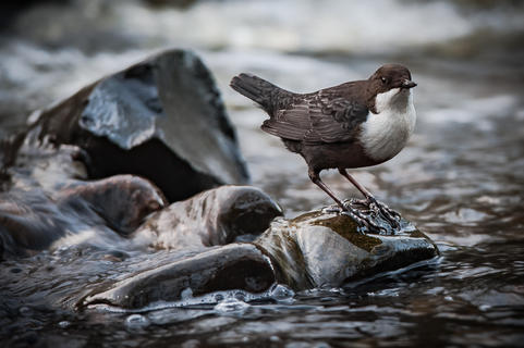 Dipper- by Ken Clark, Best Portrait Category