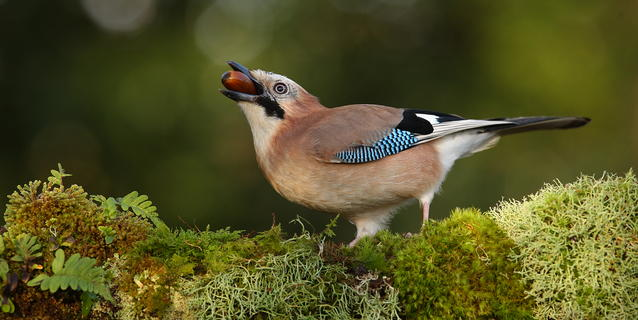 Jay with acorn by Charles Tyler, Garden Birds  Category