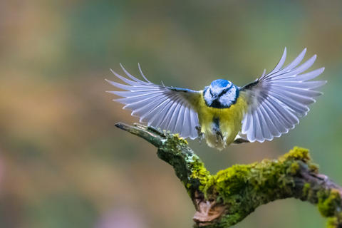 Eurasian blue tit by Gabriel Ozon, Garden Birds  Category