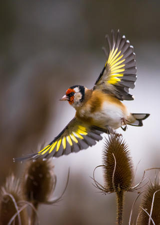 European goldfinch by Gabriel Ozon, Garden Birds  Category